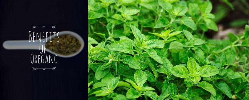 Oregano Oil and Its Surprising Health Benefits